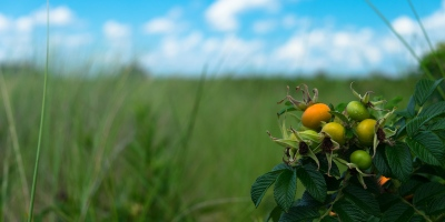 Beach tomatos swaying in the breeze at Sakonnet Point in Little Compton, Rhode Island