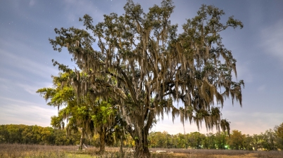 Olde Spanish Moss on a tree in the moonlight